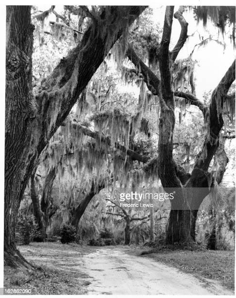 Spanish Moss hanging from live oaks in Wilmington North Carolina 1955