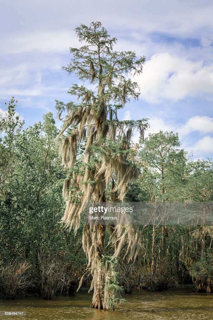 how to grow spanish moss on trees