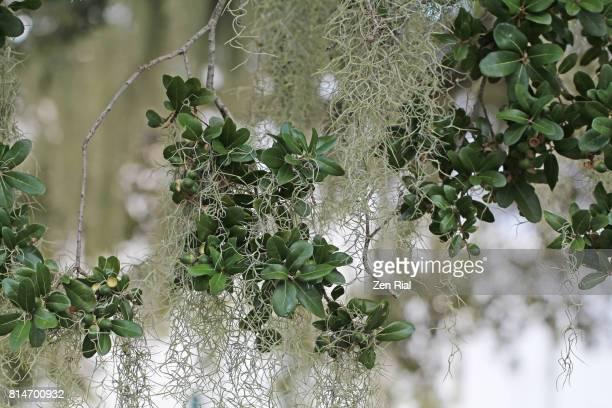 Spanish Moss - Tillandsia usneoides growing on Southern Live Oak tree (Quercus virginiana)