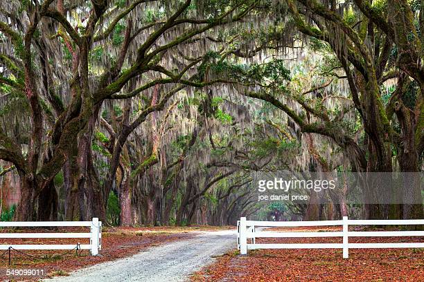 Spanish Moss, Wormsloe, Savannah, Georgia, America