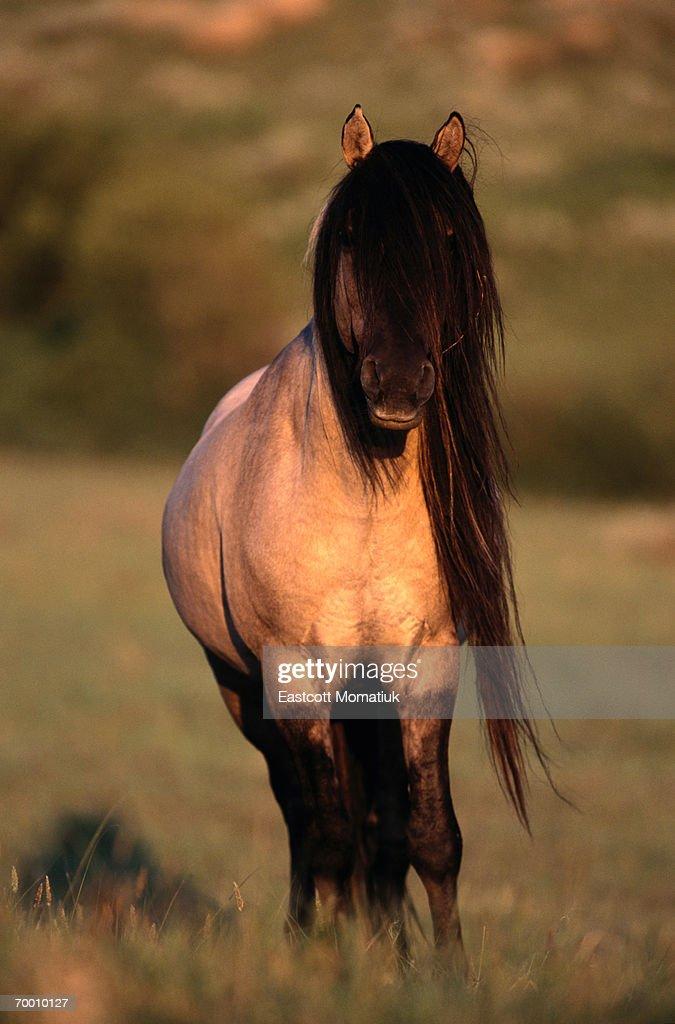 Spanish mustang (Equus caballus) standing, long mane, Wyoming, USA : Stock Photo