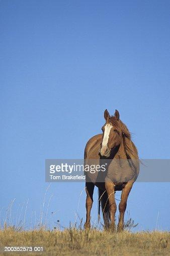 Spanish mustang (Equus caballus), wild horse, Wyoming, USA : Stock Photo