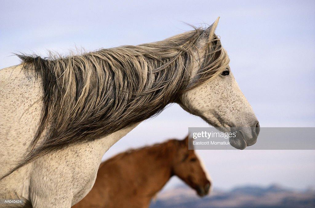 Spanish Mustangs : Stock Photo