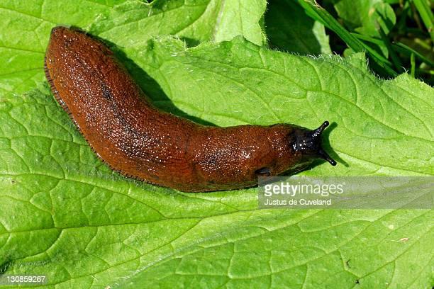 Spanish Slug - Lusitanian Slug (Arion lusitanicus)