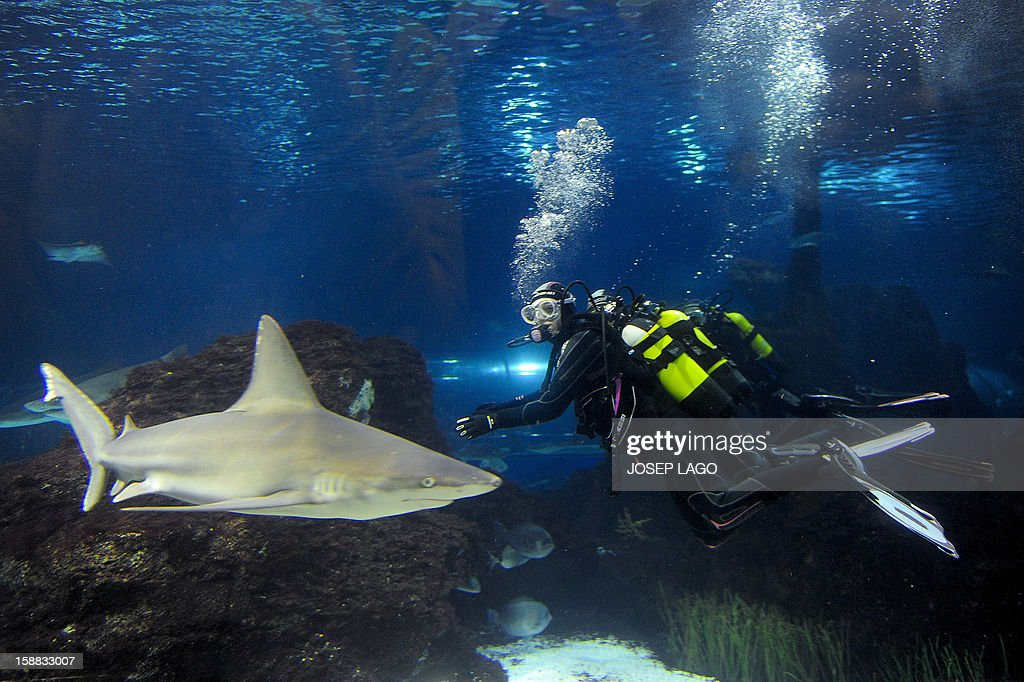 Spanish swimmer Mireia Belmonte Garcia dives with sharks to wish a Merry Christmas and a happy new year 2013 at the Aquarium of Barcelona on December 31, 2012.