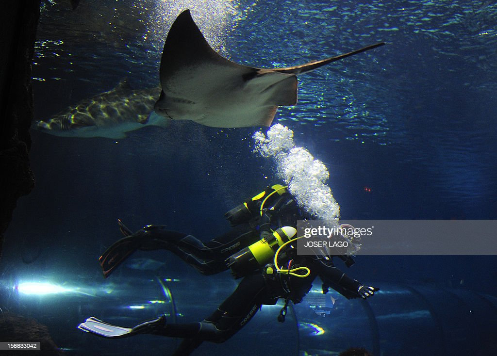 Spanish swimmer Mireia Belmonte Garcia (Bottom) dives with sharks to wish a Merry Christmas and a happy new year 2013 at the Aquarium of Barcelona on December 31, 2012. AFP PHOTO /JOSEP LAGO.