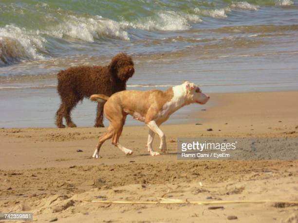 Spanish Water Dog And American Pit Bull Terrier Walking On Shore At Beach