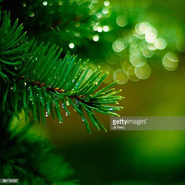 Sparkling pine branch