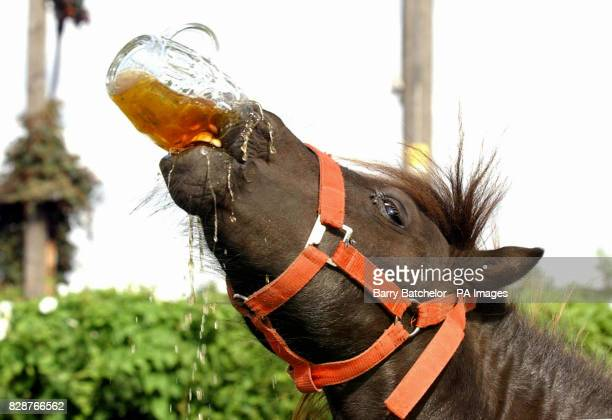 Sparky the Shetland Pony downs a pint of Arkell 3B at his local the Globe Inn in Sandhurst Gloucester The Shetland Pony is fussy about his drinks and...