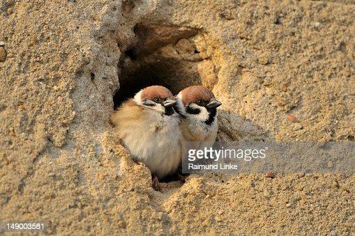 Sparrow Couple : Stock Photo