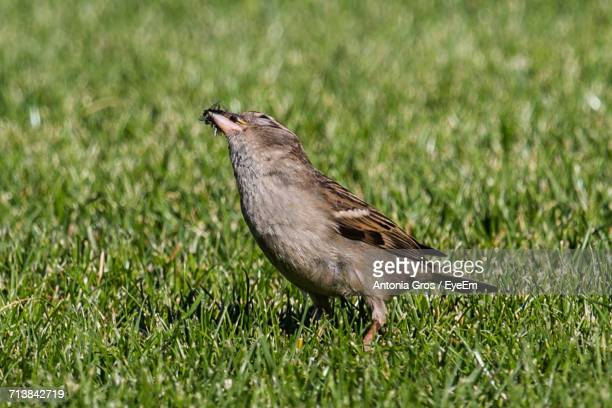 Sparrow Eating Insects On Grass