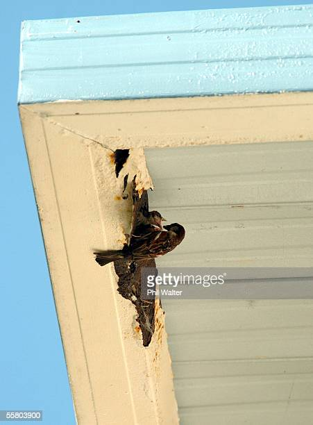 A sparrow feeds its young as they nest inside a house gutter in Westmere Auckland New Zealand Saturday January 15th 2005