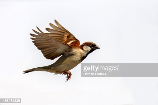 Sparrow flying