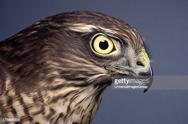 Sparrow Hawk Accipiter Nisus female head study Awsworth Nottinghamshire England United Kingdom