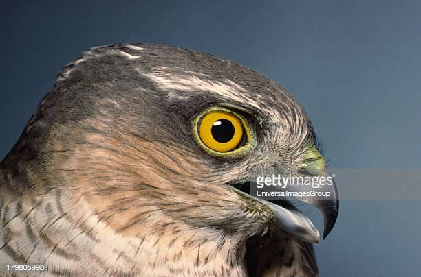 Sparrow Hawk Accipiter Nisus male head study Ruddington Nottinghamshire England United Kingdom