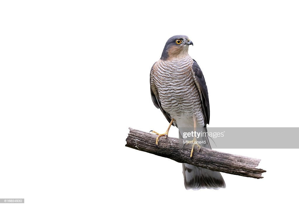 Sparrowhawk, Accipiter nisus : Stock Photo