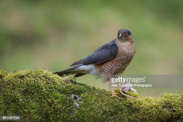 Sparrowhawk feeding