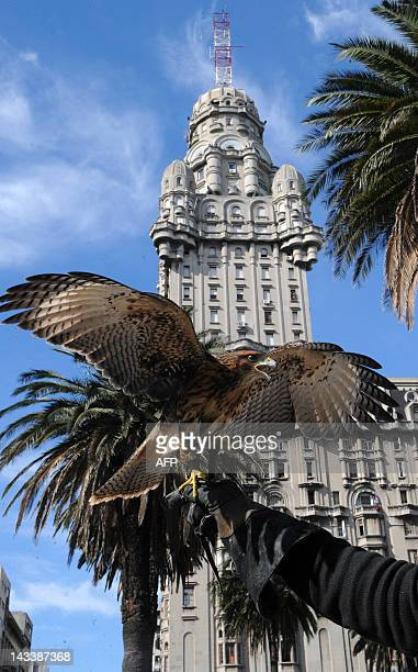 A sparrowhawk flies back to its trainer arm during a demonstration in downtown Montevideo on April 25 2012 Montevideo's Town Council decided to hire...
