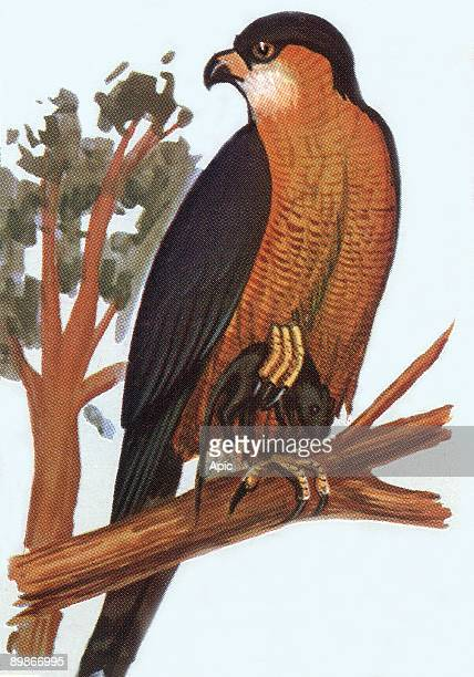 Sparrowhawk illustration 1963