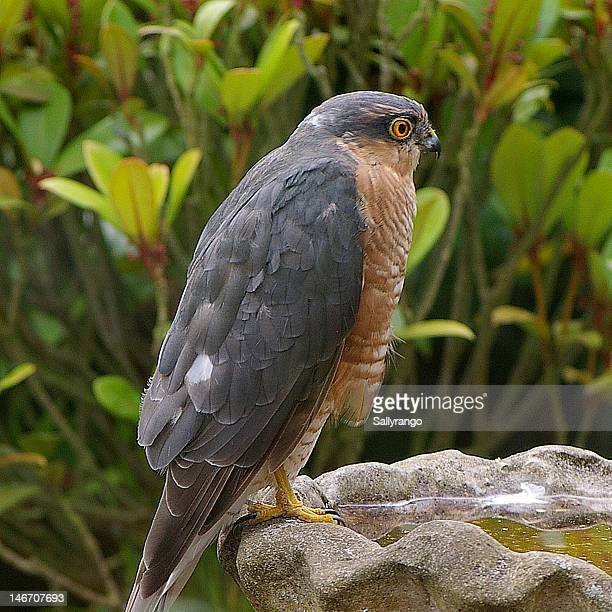 Sparrowhawk on birdbath