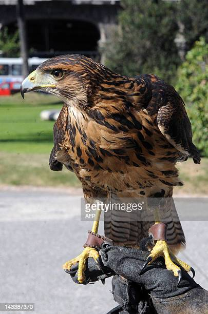 A sparrowhawk perches on its trainer arm during a demonstration in downtown Montevideo on April 25 2012 Montevideo's Town Council decided to hire...
