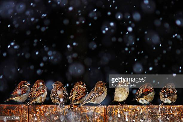 Sparrows enjoying snowfall