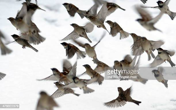 Sparrows fly through the winter storm near Pennsylvania Avenue in Northwest