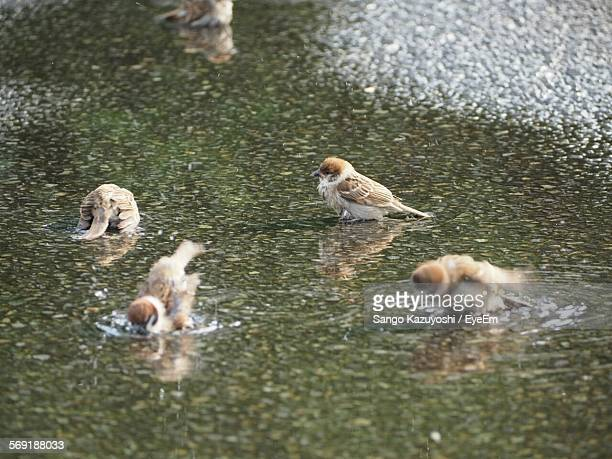 Sparrows in pond at park