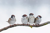 four little funny sparrows sitting on a branch in winter in a snowstorm