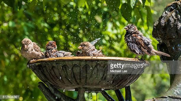 Sparrows Splash at Bird Bath