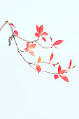 Sparse branch with pink and red leafs