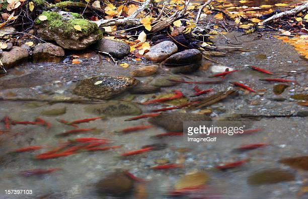 Spawning Salmon in British Columbia Creek