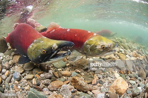 spawning sockeye salmon (Oncorhynchus nerka)