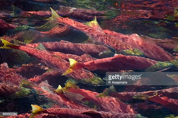 Spawning sockeye salmon, red color, gathered together in deep pool