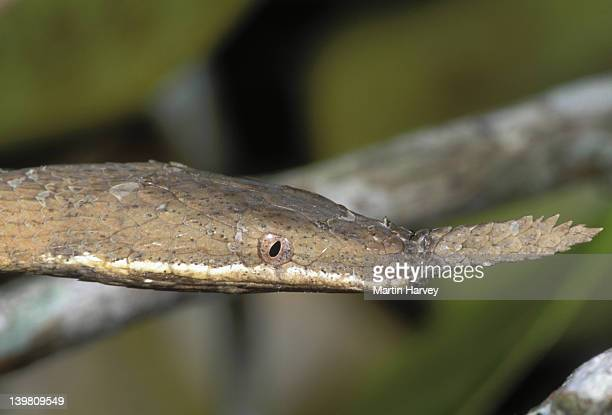 Spear-nosed snake Langaha madagascariensis Camouflaged to resemble tree branches and twigs Madagascar © M. Harvey MA_SNA_S_002