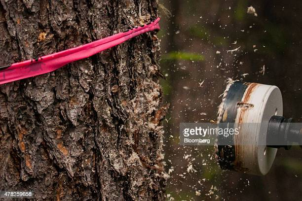 A specialized saw is used to take samples from pine trees affected by the mountain pine beetle in the wilderness near Whitecourt Alberta Canada on...