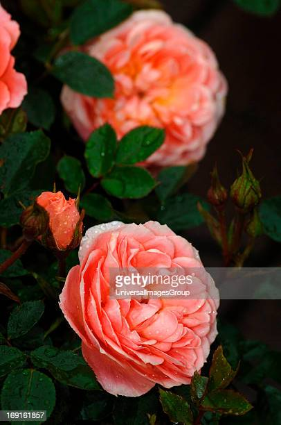 A Species Of The Small Shrub Patio Rose Family