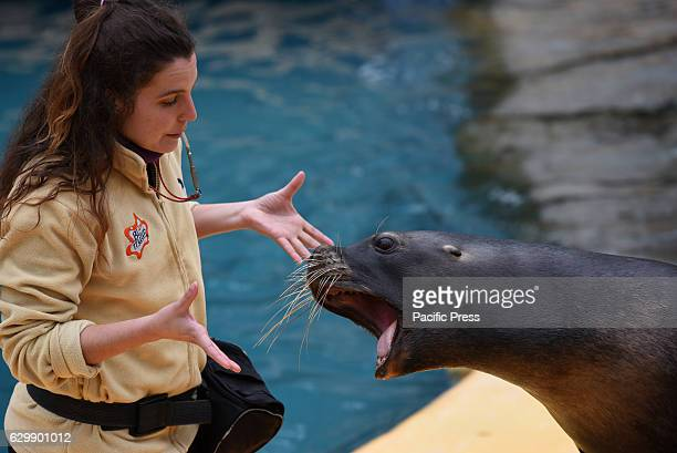A specimen of California sea lion pictured with its keeper during a show at Madrid zoo