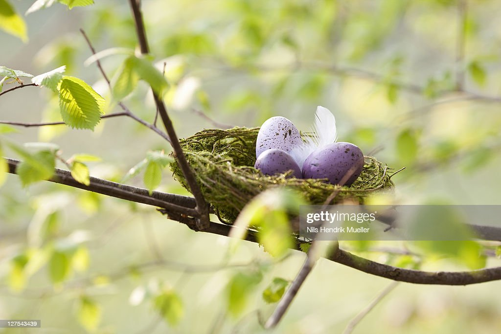 Speckled eggs in birds nest : Stock Photo