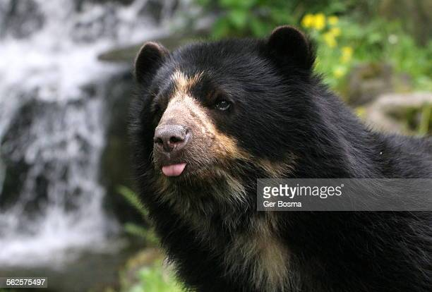 Spectacled bear feeling peckish