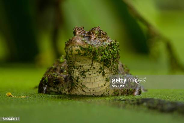 Spectacled Caiman Caiman crocodilus patiently waits for unsuspecting prey to get too close It is found in much of Central and South America including...