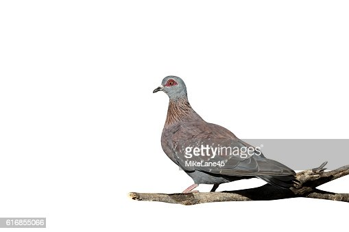 Spectacled pigeon, Columba guinea : Stock Photo