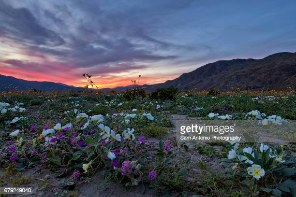Spectacular sunset of desert wildflowers during the spring super bloom