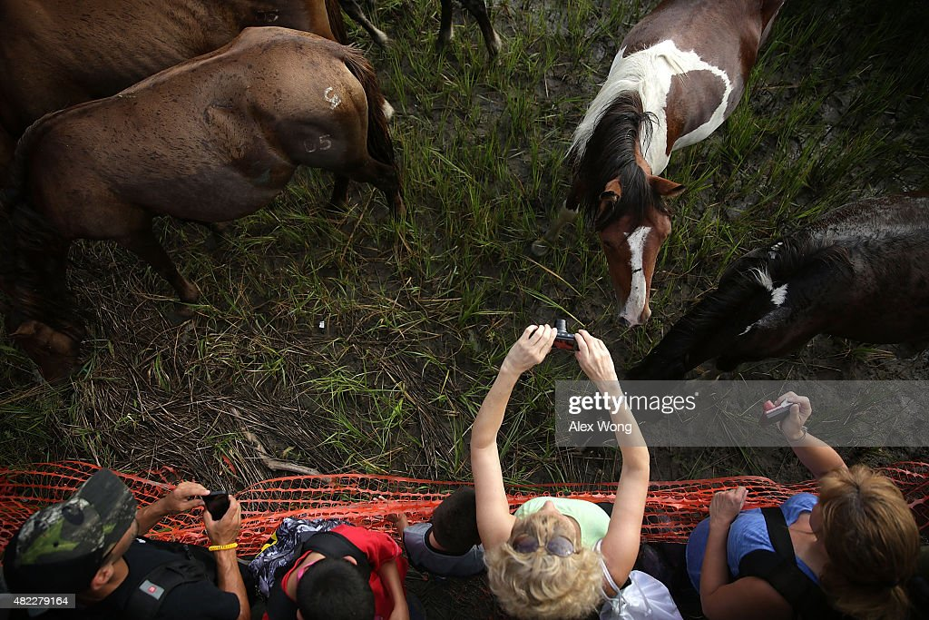 Spectators take pictures of wild ponies after they swam across Assateague Channel during the annual pony swim event from Assateague Island to...
