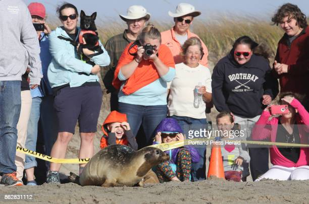 Spectators watch as a a harbor seal rescued from Old Orchard Beach is released Sunday Oct 8 2017 at Head Beach in Phippsburg Maine