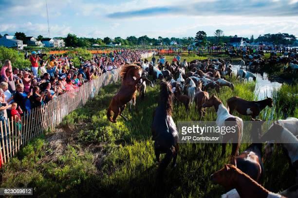 Spectators watch as Assateague wild ponies play after they crossed the Assateague Channel during the annual Chincoteague Island Pony Swim in...