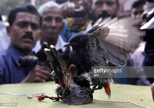 Spectators watch as Redvented Bulbuls fight during the Bhogali Bihu celebration in Hajo about 45 kilometers from Guwahati on January 14 2013 Hundreds...