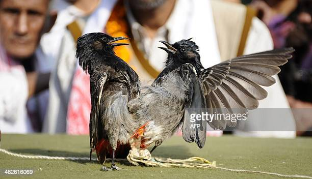 Spectators watch Redvented Bulbuls fight during the Bhogali Bihu celebration in Hajo about 45 kilometers from Guwahati on January 14 2014 Hundreds of...