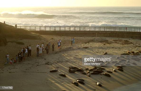 Spectators watch slumbering harbor seals from behind a rope barrier at Children's Pool Beach January 24 2003 in La Jolla California Since taking over...