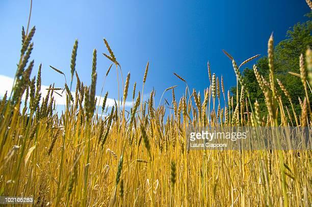 Spelt grains growing in field